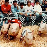 pigs-racing